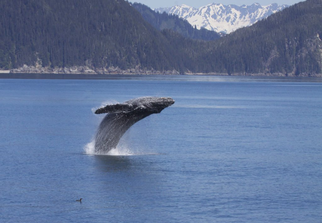 """A humpback whale breaching. Source: Gregory """"Slobirdr"""" Smith (flickr) (CC BY-SA 2.0)"""